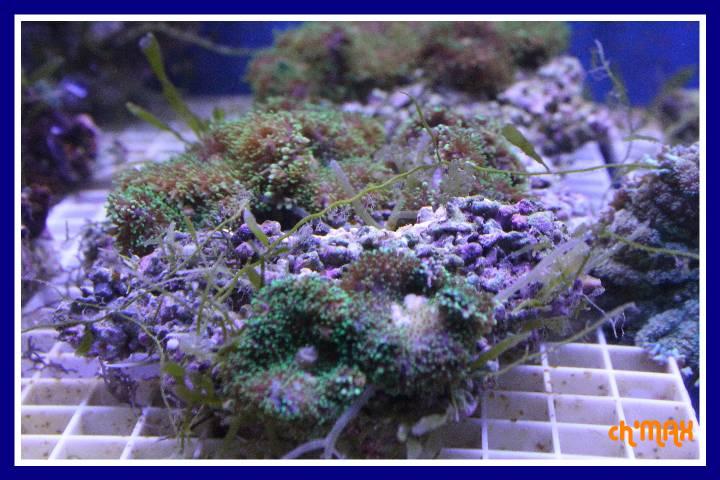 ce que j'amène en coraux a orchie  577854PXRIMG0013GF