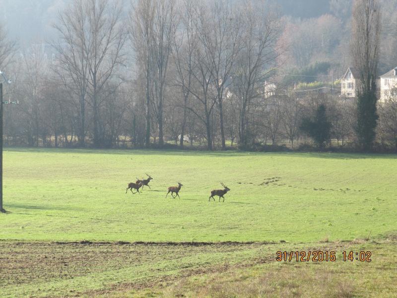 Cerfs en promenade en bas de chez moi 577862IMG2414