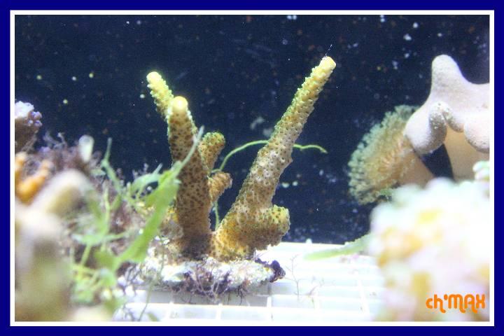 ce que j'amène en coraux a orchie  579975PXRIMG0035GF