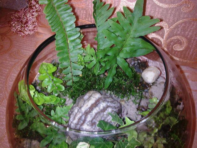 2.Les Terrariums...et pêtite corbeille de lierre 581375Photo014