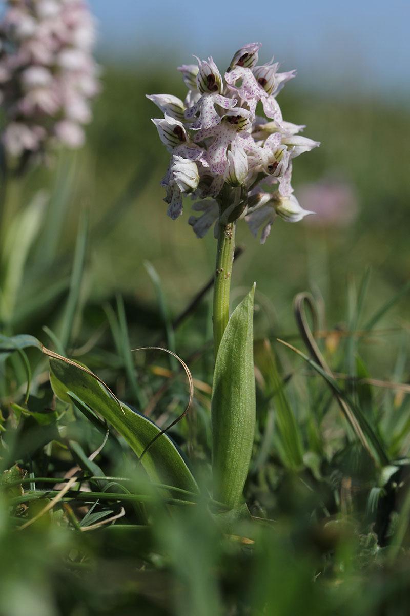 Neotinea corsica (Orchis de la Corse ) 581651IMG5940forum