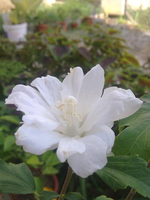 Mes hibiscus et moi...une longue histoire 5827161_hibiscus_blanc