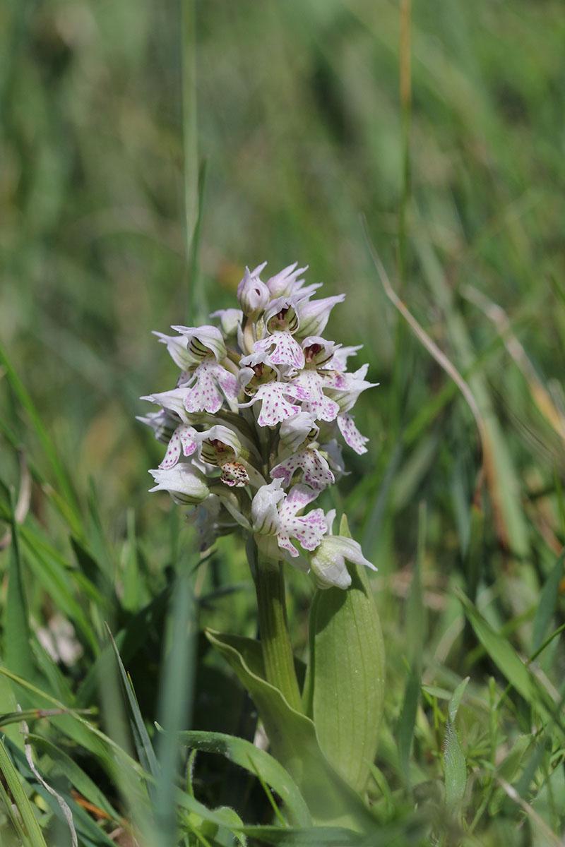 Neotinea corsica (Orchis de la Corse ) 583135IMG5883forum