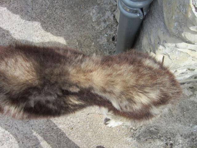 ALASKA (ex)LOUIS husky a l'attache depuis des années (m) 8 ans ref/79DECEDE     - Page 2 584568IMG3267