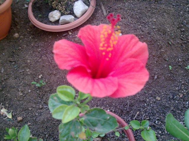 Mes hibiscus et moi...une longue histoire 58944418.hibiscus_rouge