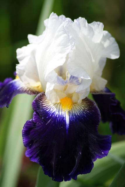 Floraisons 2016 de nos grands iris barbus et Bilan - Page 5 590903012