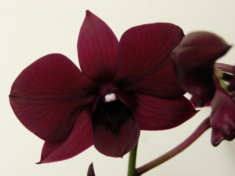 Dendrobium Thaïland Black (de type phalaenopsis) 591014dendro2014033002