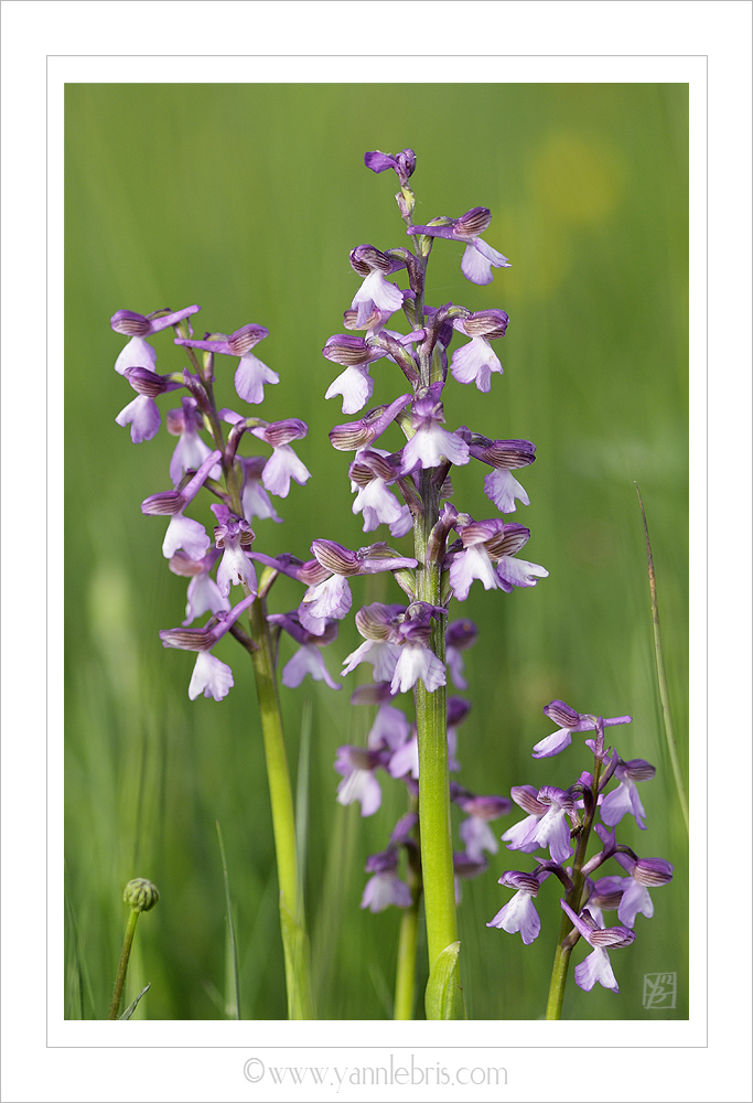 Orchis de l'espace (Orchis morio) 591873OrchisX1