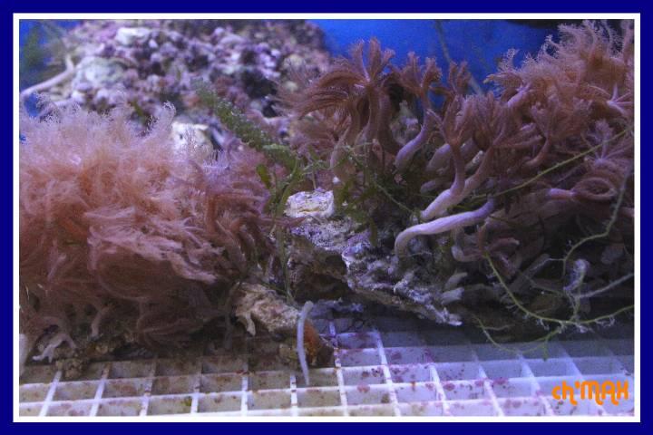ce que j'amène en coraux a orchie  593624PXRIMG0018GF