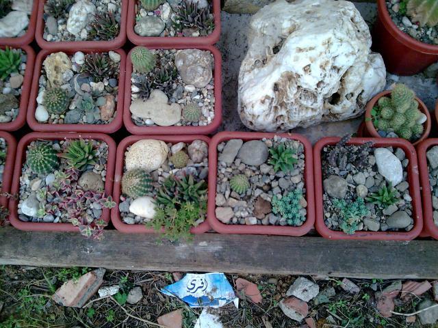 Floraisons de succulentes et cactées - Page 2 598386Photo092