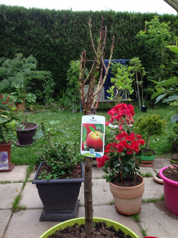 Les Arbres Fruitiers Nains! 599795IMG5634