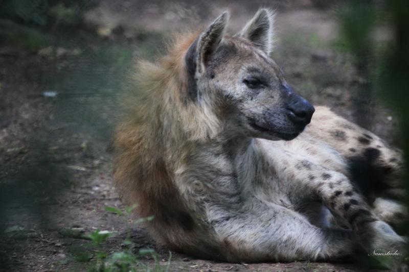 Une hyene au repos  600194hyene