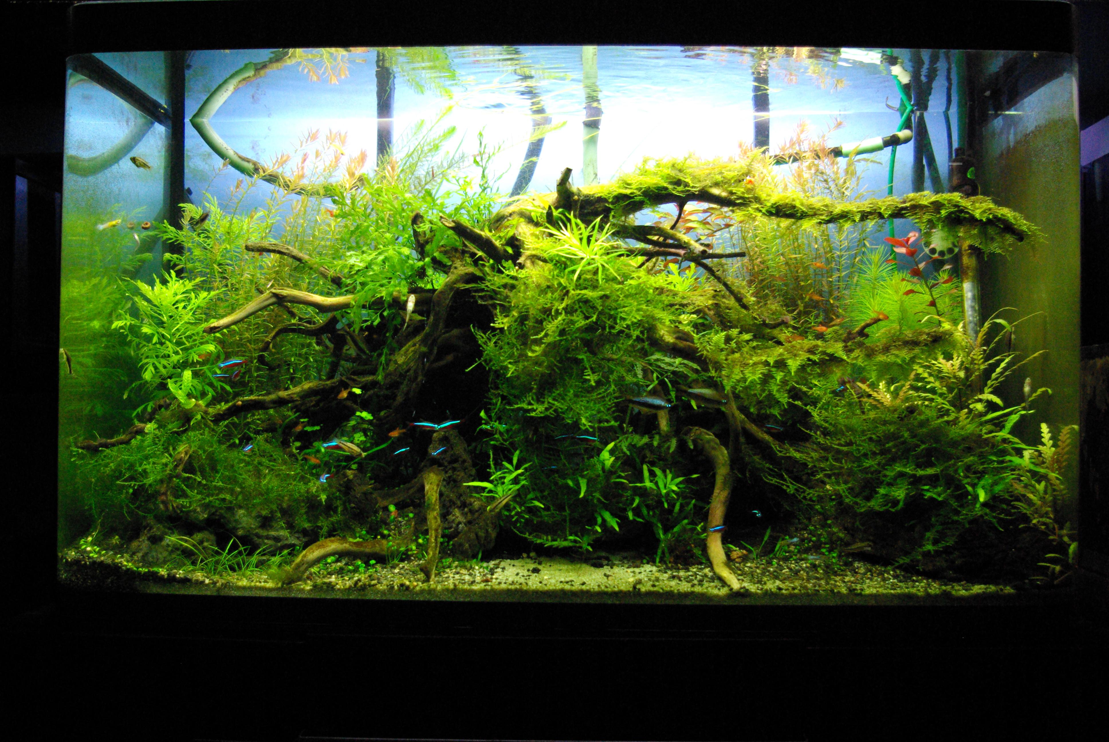 Mes bacs, une passion: l'aquariophilie!! 600796IMGP1499