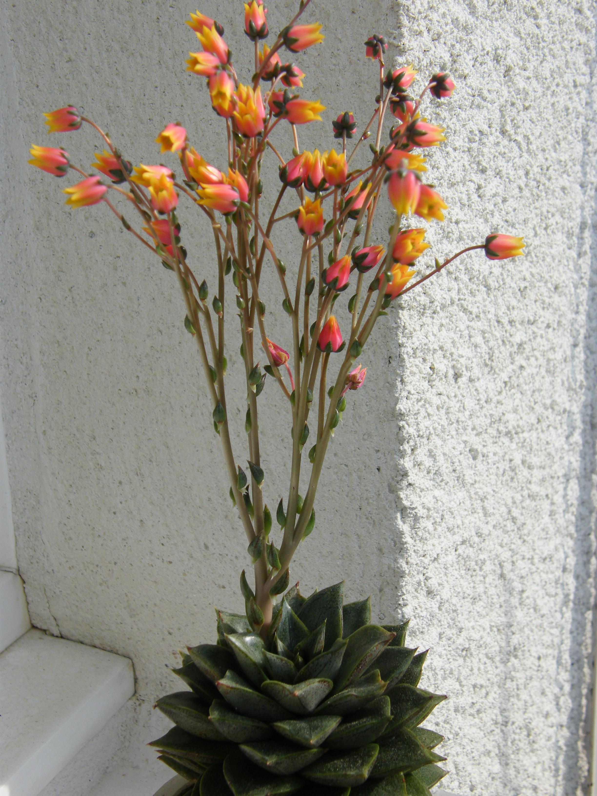 echeveria purpusorum 601061Mai2011037