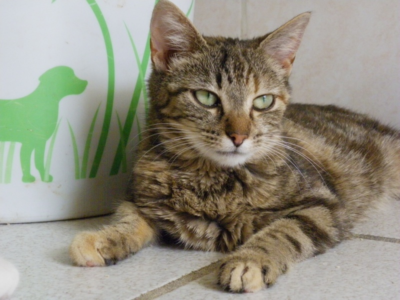 PEPITE (chatte femelle tigrée) 605218pepite