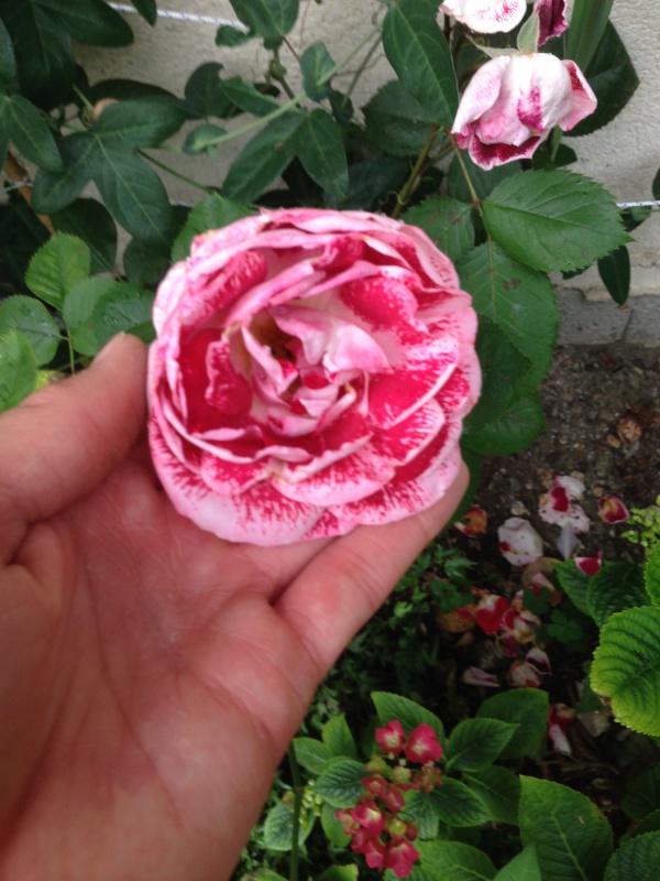 le royaume des rosiers...Vive la Rose ! - Page 13 605360IMG5683