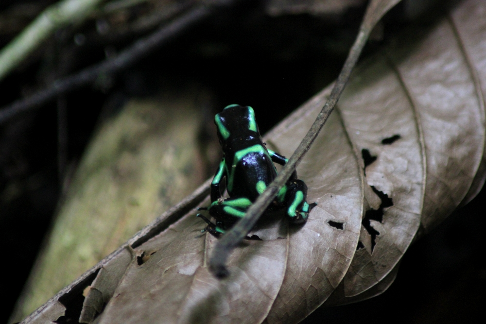 15 jours dans la jungle du Costa Rica 605543dendro3r