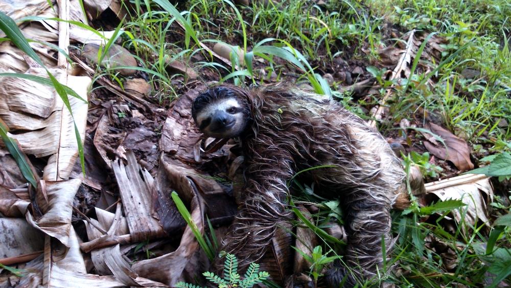 15 jours dans la jungle du Costa Rica - Page 2 608805paresseux2r
