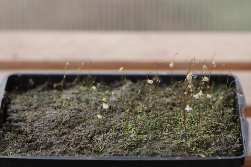 Utricularia Bisquamata 611381IMGP4710