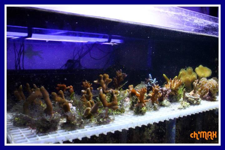 ce que j'amène en coraux a orchie  613041PXRIMG0005GF