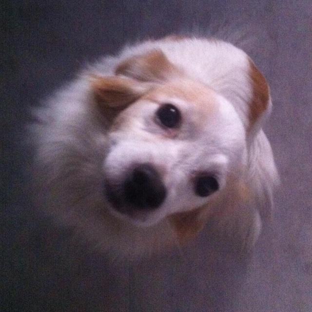 HELP!!!!!!!!Perdu Dolce petite chienne 615701193483015287962140889746945774952205780531n