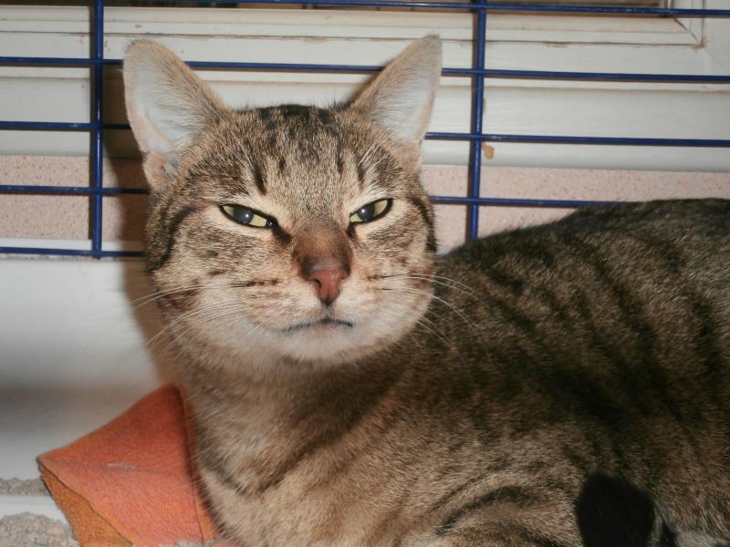 Azalé ( chat mâle tigré ) 617631P2172337