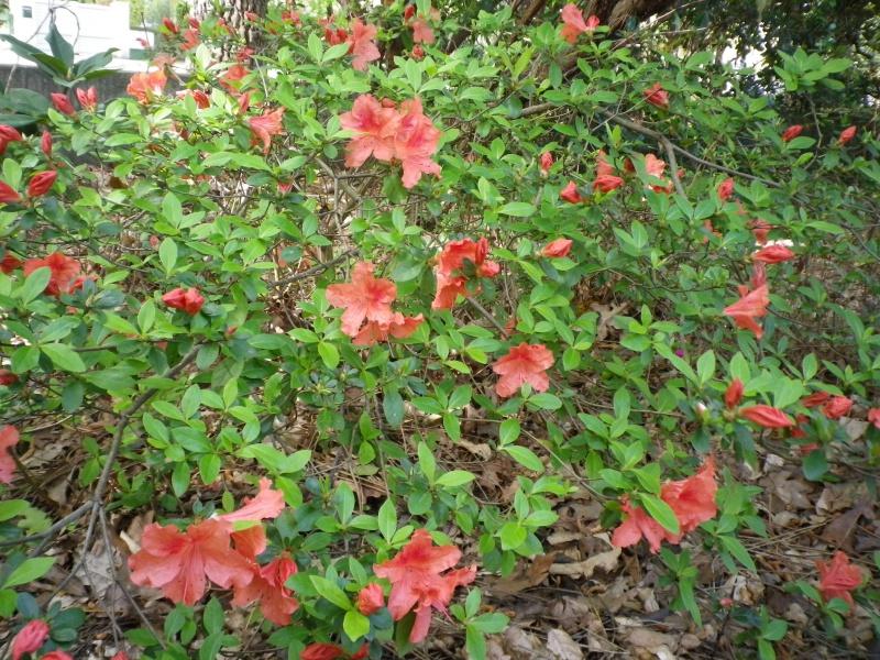 avril, jardin fébrile - Page 5 617824IMGP4343