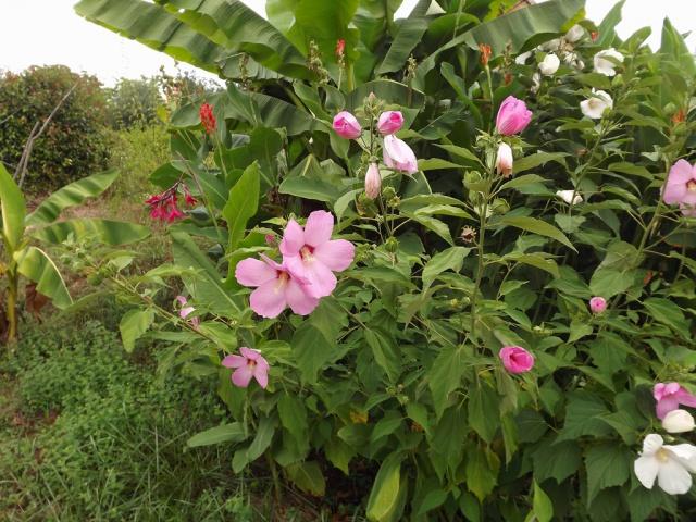 Hibiscus des marais rustiques - sujet général - Page 2 623612massifmusacanna3