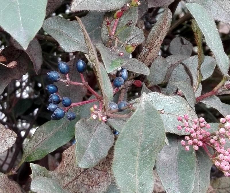 Baies et fruits d'hiver 632584IMG20170111124028