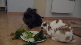 /!\ Le lapin : animal grégaire + cohabitation 641214P1100982