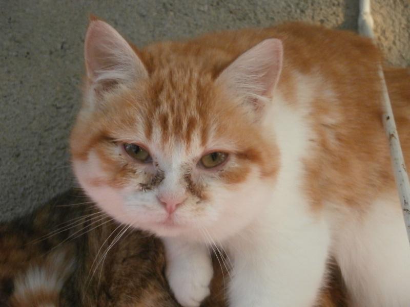WILLOW (femelle rousse et blanche) 643347PC285398
