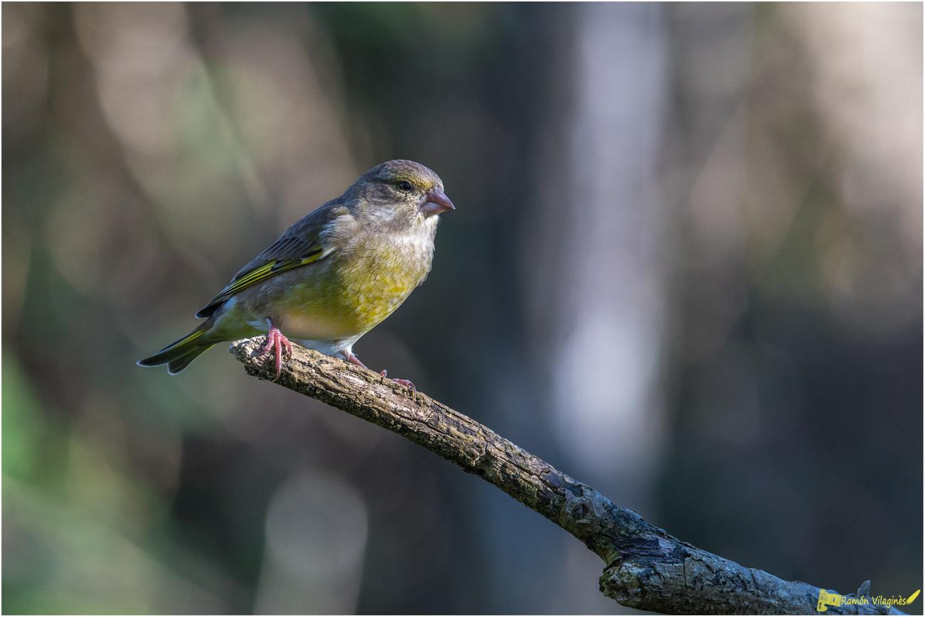 Petits oiseaux.... 643994D500706Modifier