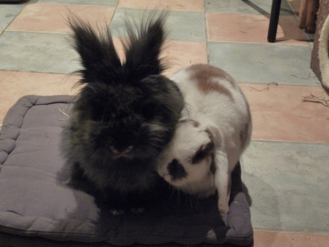 /!\ Le lapin : animal grégaire + cohabitation 646596P1110525
