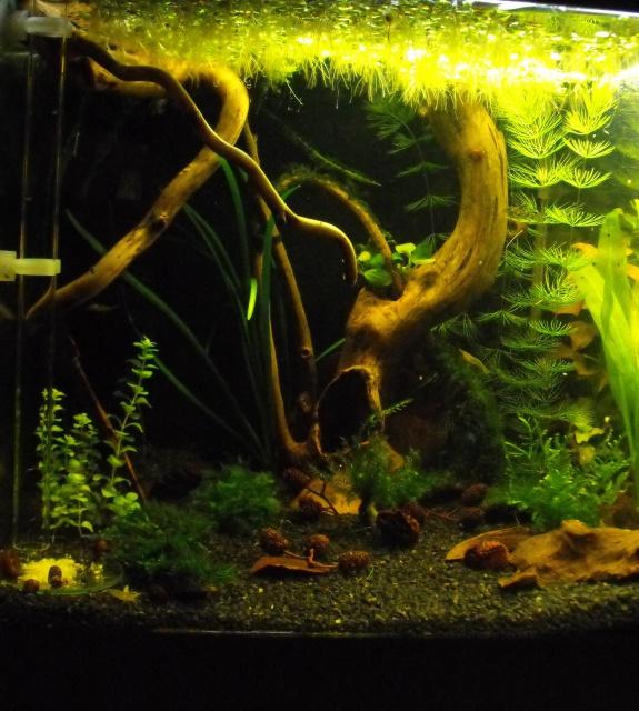 mes aquariums 657019DSCF6187