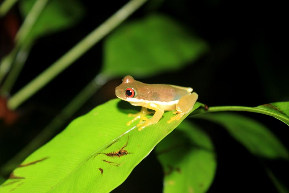 15 jours dans la jungle du Costa Rica - Page 2 660449duelmanohyla1r