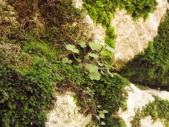 flore des vieux murs, rochers  et rocailles naturelles - Page 4 662364mousse4