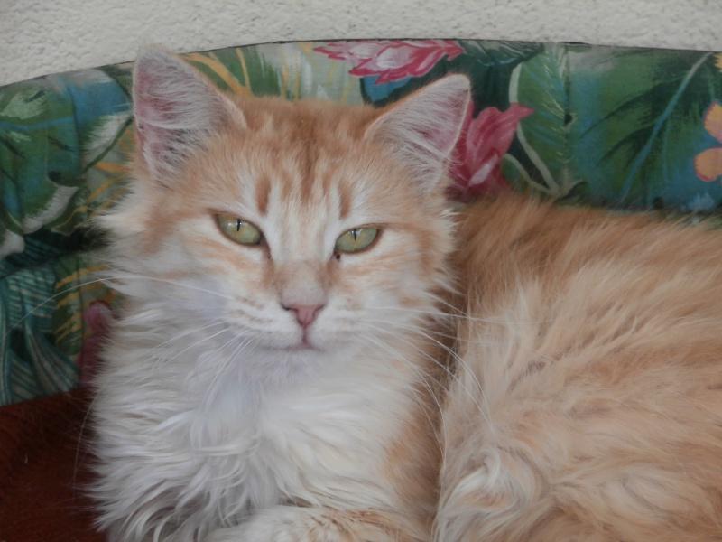 Miel (chatte angora beige) 665313P8161612