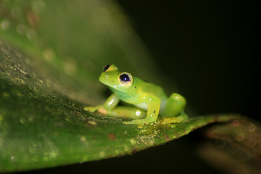 15 jours dans la jungle du Costa Rica - Page 2 666158teratohyla2r