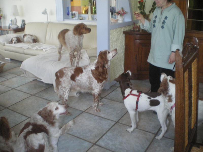 Deux mamies épagneules bretons, et leur famille dans le besoin 666405IMGP5245