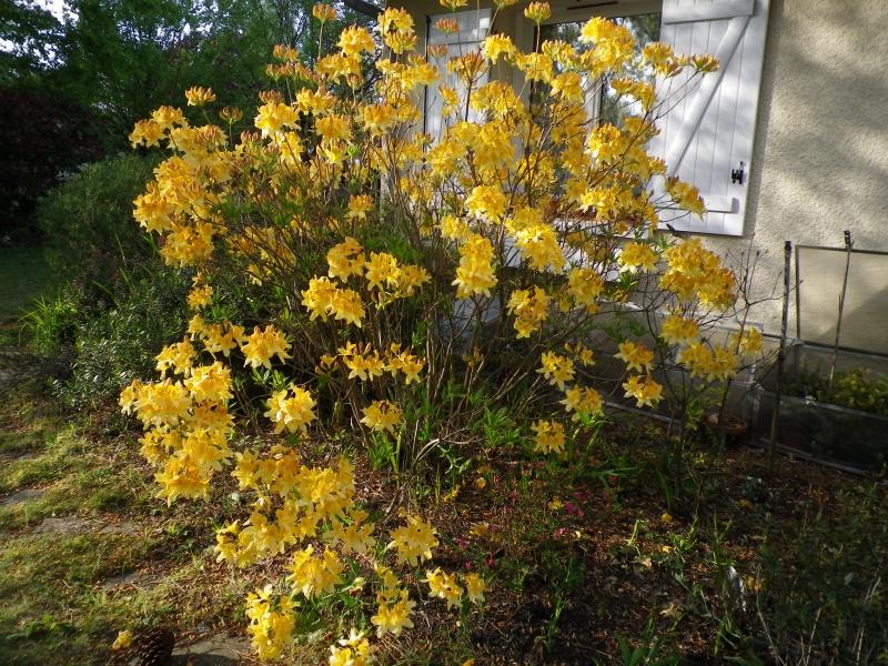 avril, jardin fébrile - Page 7 667026AzaleaIMGP4485