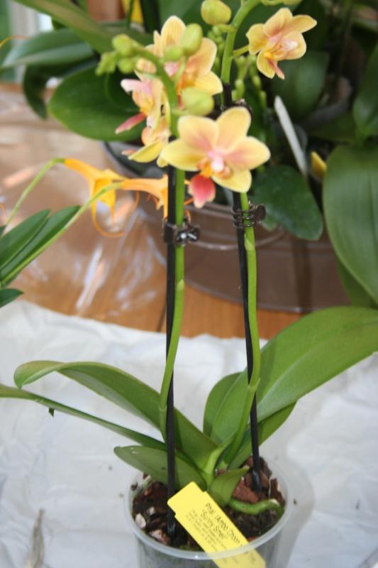 phalaenopsis sunny smell  667225IMG8740