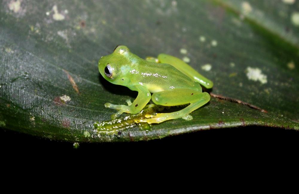 15 jours dans la jungle du Costa Rica - Page 2 667832Teratohyla1r