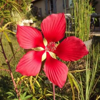 Hibiscus des marais rustiques - sujet général - Page 4 668751DSCF6492