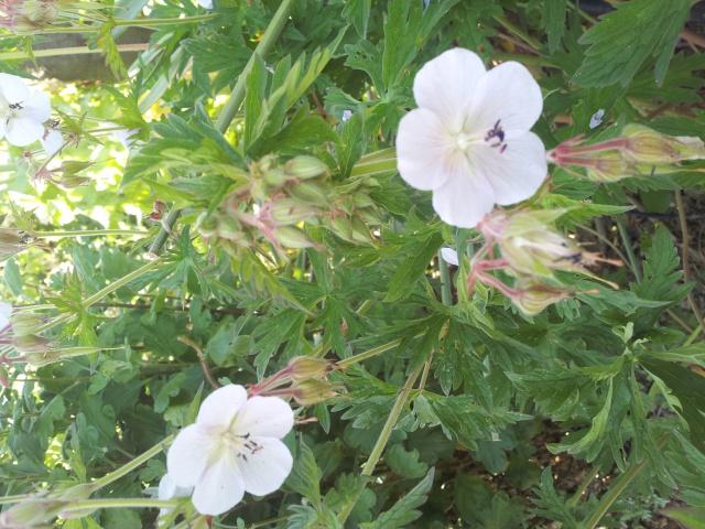 identification geranium : pratense picotee 67529620150602180902