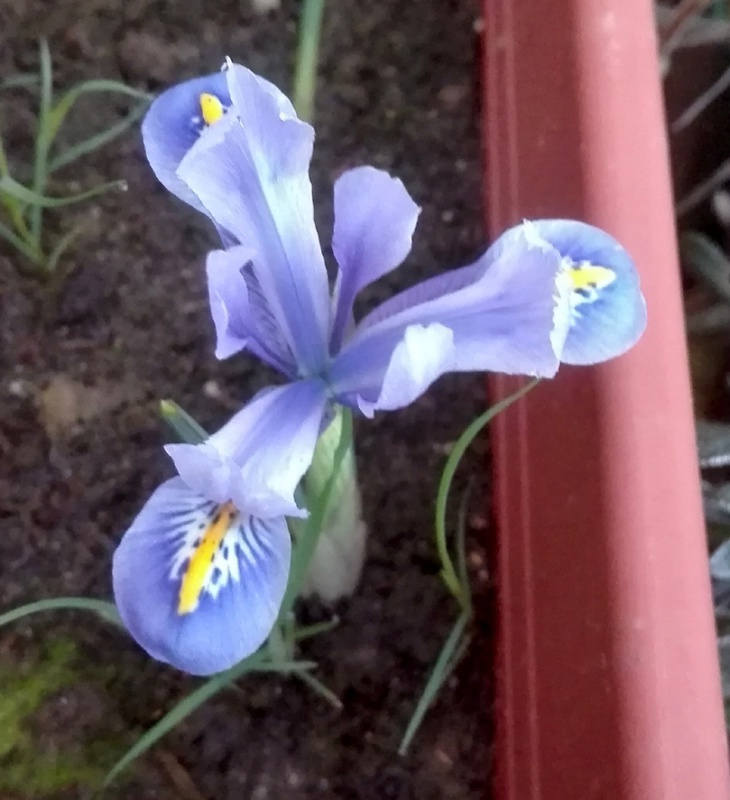 deux ou trois fleurs dans le vent - Page 4 675450IMG20170225074435