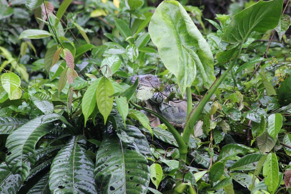 15 jours dans la jungle du Costa Rica 675663igua3r