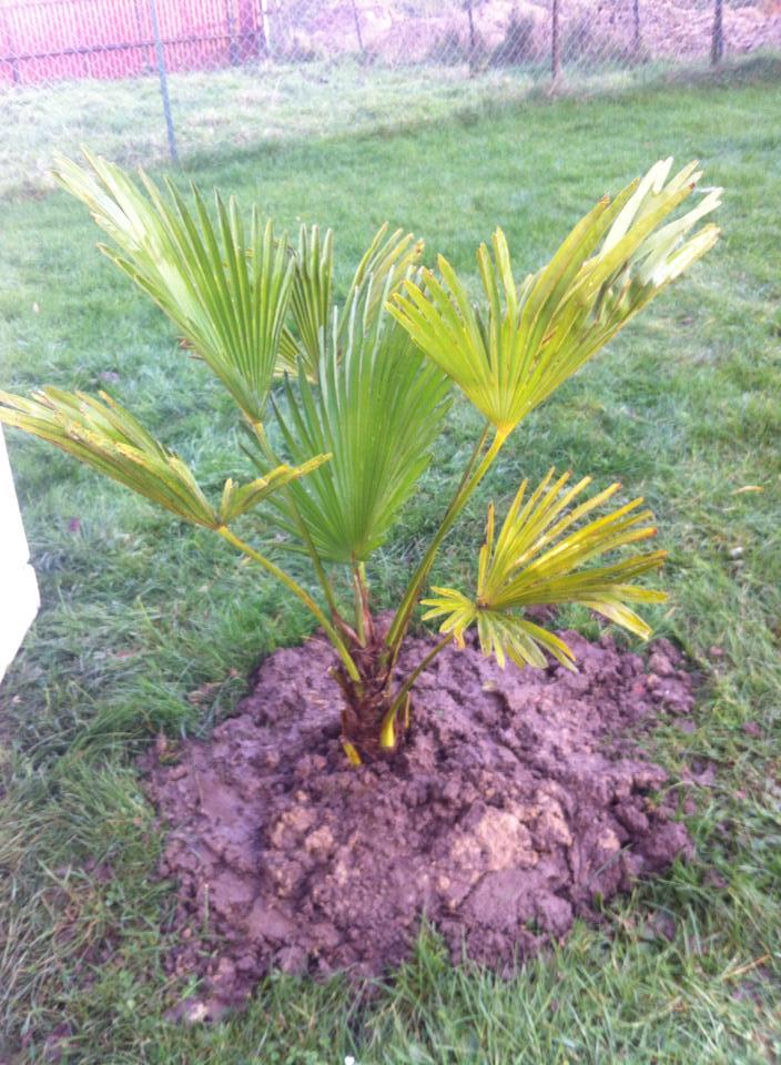 Planter Trachycarpus wagnerianus de 100 cm en Hivert 68040710891644101529422423391546576909326336723992n