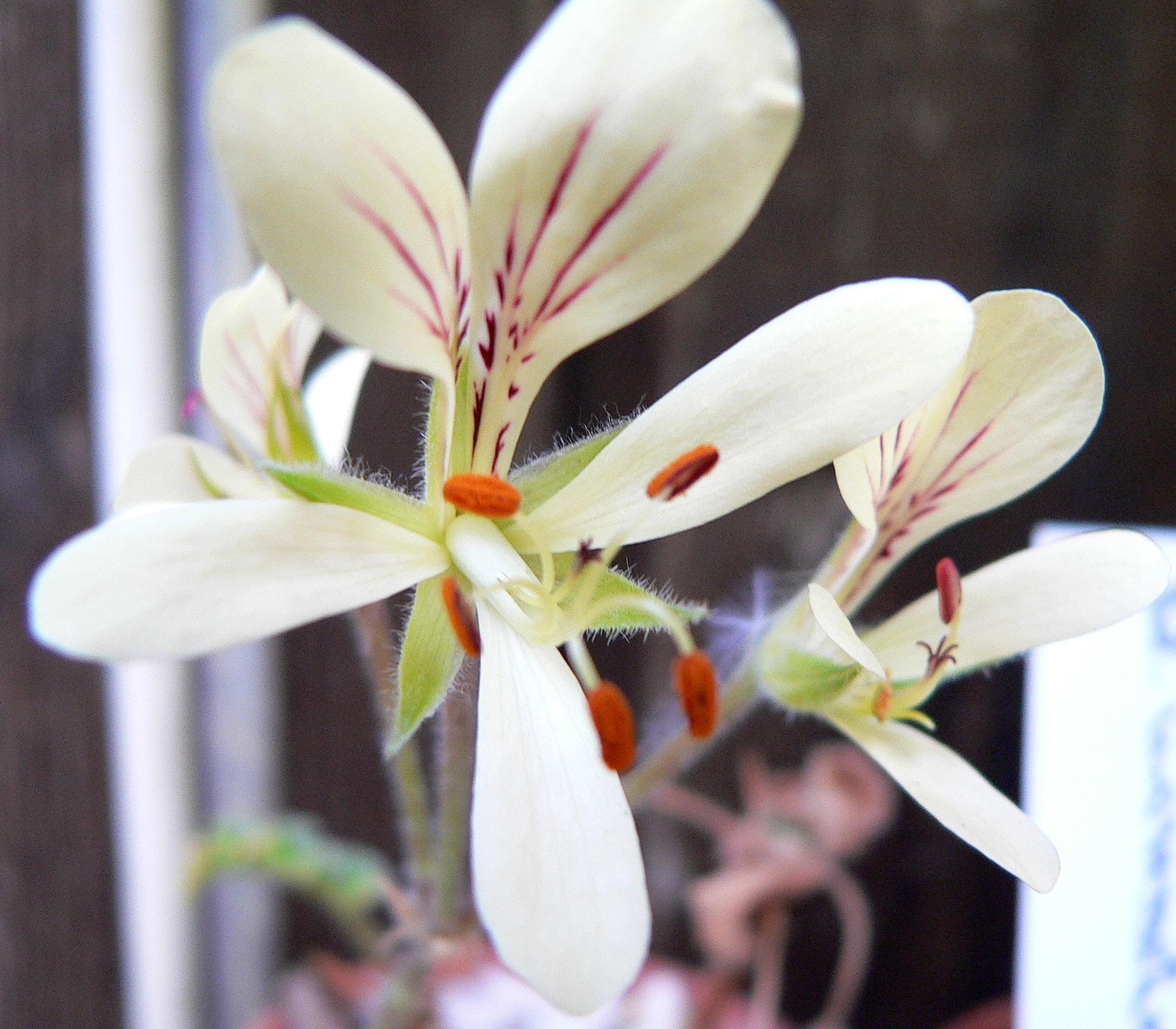 Pelargonium tetragonum - Page 2 690846Pelargoauritumxauritum