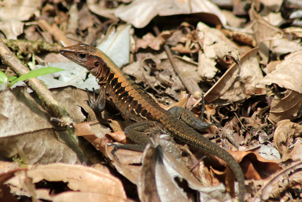 15 jours dans la jungle du Costa Rica 695916ameiva3r