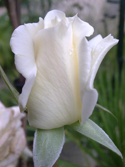 Floraisons de novembre 70173415.rose